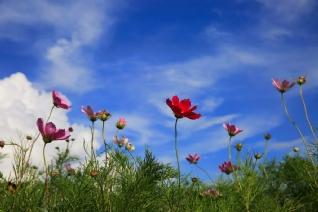 蓝天白云下的美丽格桑花壁纸